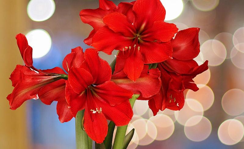 Winter Blooming Amaryllis Brings Joy Inside